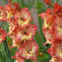 Что делать с гладиолусами после цветения