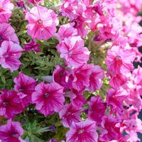Как сохранить петунию до весны