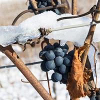 Надежные способы укрытия винограда для разных регионов