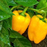 Главные проблемы при выращивании перца: как выявить и вылечить все недуги