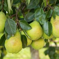 Спасаем молодые плодовые деревья от перегрузки: пошаговая инструкция по обрезке