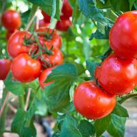 Простой способ выращивания томатов без лишних усилий и затрат