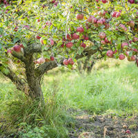 Идеальное плодовое дерево. К чему стремиться при формировании кроны?
