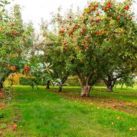 Умное удобрение: 5 принципов эффективной подкормки плодовых деревьев