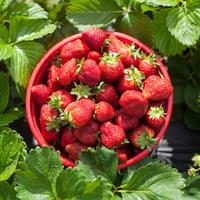 5 простых правил выращивания клубники — небывалый урожай ягод даже в Сибири