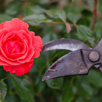 Чтобы роза была красивой, или Когда, зачем и как обрезать розы