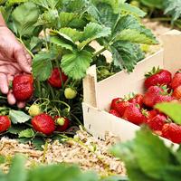 Земляника садовая: лучшие сорта сезона по мнению профессионалов