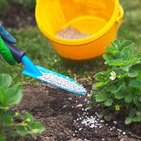 Схема подкормки земляники садовой: чем желает питаться королева ягод