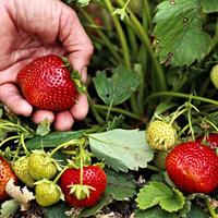 Как ухаживать за клубникой после сбора урожая: шесть слагаемых клубничного успеха