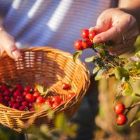 Шиповник в народной медицине: полезные рецепты с плодами шиповника