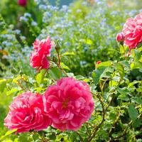 Нежелательные соседи для роз: какие растения не стоит сажать рядом с королевой сада