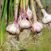 Озимый и яровой: выращиваем чеснок, как советует Галина Кизима