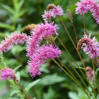 Самое необычное растение в вашем цветнике – скромная и изящная кровохлебка