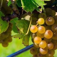 В чем заключается уход за плодоносящим виноградом