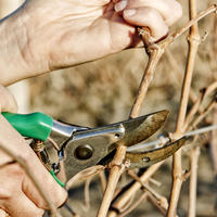 Как надо обрезать виноград с первого по пятый год выращивания