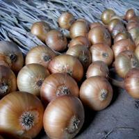 Репчатый лук: видео о том, как сохранить урожай лука в квартире