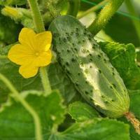 Огурцы: рецепт маринования переросших зеленцов