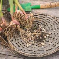 Как подготовить луковицы гладиолусов к хранению (видео)
