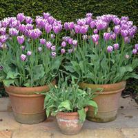 Сажаем тюльпаны в вёдра (видео)
