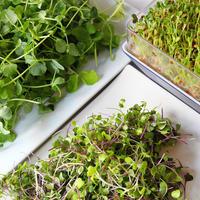 Выращиваем микрозелень для макропользы