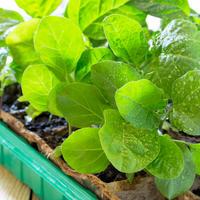 Как посеять перцы и баклажаны на рассаду