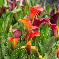 Калла — прекрасная тропиканка в саду