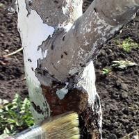 Креолин для защиты плодовых деревьев от вредителей