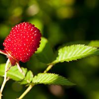 Земляничная малина: посадка, выращивание и уход