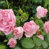 Какие розы самые зимостойкие: шпаргалка для начинающего цветовода