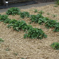Почему так важно мульчировать почву?