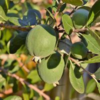 Фейхоа - реально ли вырастить южное дерево