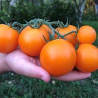 Лучшие томаты для длительного хранения: особенности ухода и правильный сбор плодов