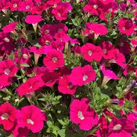 Петунии, цветущие непрерывно: выращиваем новейшие гибриды