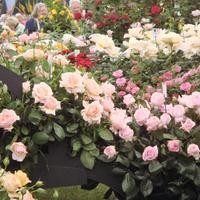 Сорта, достойные внимания: выбираем чайно-гибридные и розы флорибунда