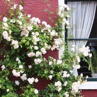 Плюсы и минусы плетистых роз: зачем их сажать в саду