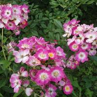 Прелестные незнакомки: собираем коллекцию мускусных роз