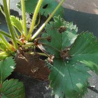 Чем лечить садовую землянику?