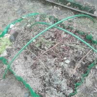 Д/з №7. Обрезка чайно-гибридной розы и флорибунды