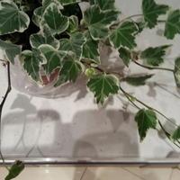 Можно ли выращивать канарский плющ на участке?
