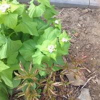 Помогите найти имя этому белому цветочку