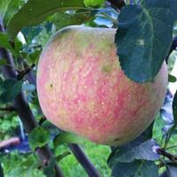 Подскажите, какой это сорт яблони?