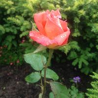 Розовый сезон начался