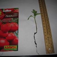 Томат Пышка F1. III этап. Развитие растений и уход за ними. Пикировка