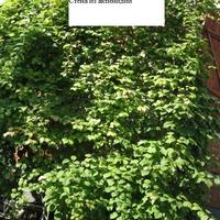 Посадите актинидию и сделайте для неё надежную опору