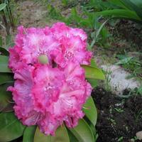 Посоветуйте растения для посадки рядом с рододендроном