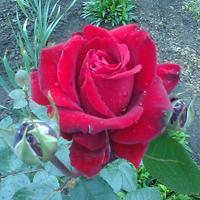 """Роза """"Найт Куин"""" - прима моего сада"""