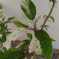 Почему листья гибискуса стали пестрыми?