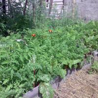Первый год органического земледелия. Конец июня. Мысли вслух