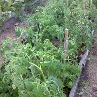 Пасынкование томатов, или Как я спасала помидоры