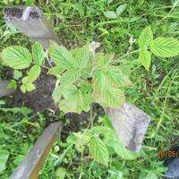 Что происходит с листьями малины? Болезнь или вредитель?